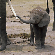 African Elephant (Loxodonta africana) baby holding an adult's trunk. Kenya, Africa