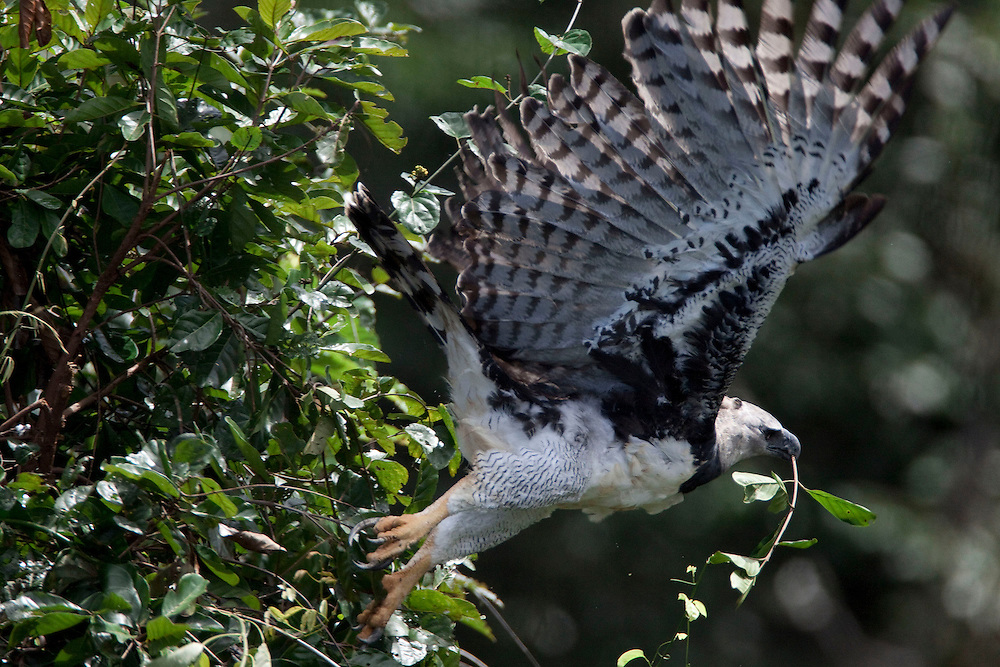 Parauapebas, Para - Brazil...May 2009...An adult takes green branches to maintain the nest cool and comfortable for its nestling...Photo: Joao Marcos Rosa / Nitro