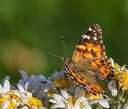 The American Painted Lady or American Lady is a butterfly found throughout North America. Vanessa virginiensis lives in flowery habitats, usually in mountains. The larvae feed on various Asteraceae, especially the cudweeds of genus Gnaphalium