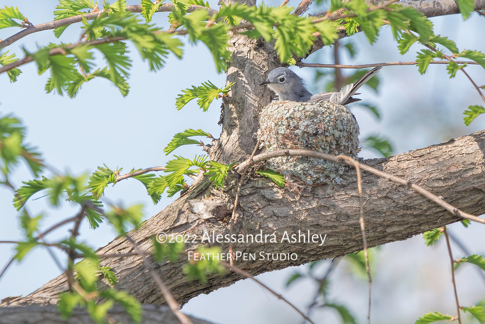 Blue-gray gnatcatcher incubating eggs in delicately woven nest of plant fibers and lichen. Photographed at Ottawa National Wildlife Refuge.
