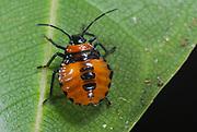 Unidentified beetle from la Selva, Ecuador.