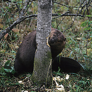 Beaver (Castor canadensis) gnawing down a tree in southern Manitoba, Canada.