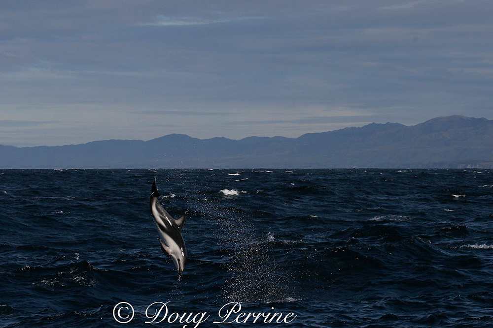dusky dolphin, Lagenorhynchus obscurus, jumping and flipping, Kaikourua, South Island, New Zealand ( South Pacific Ocean )