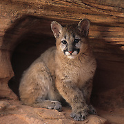 Mountain Lion (Felis concolor) cub in northern Arizona. Captive Animal