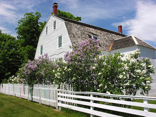 Lilacs in bloom around the Meetinghouse, Canterbury Shaker Village, NH.