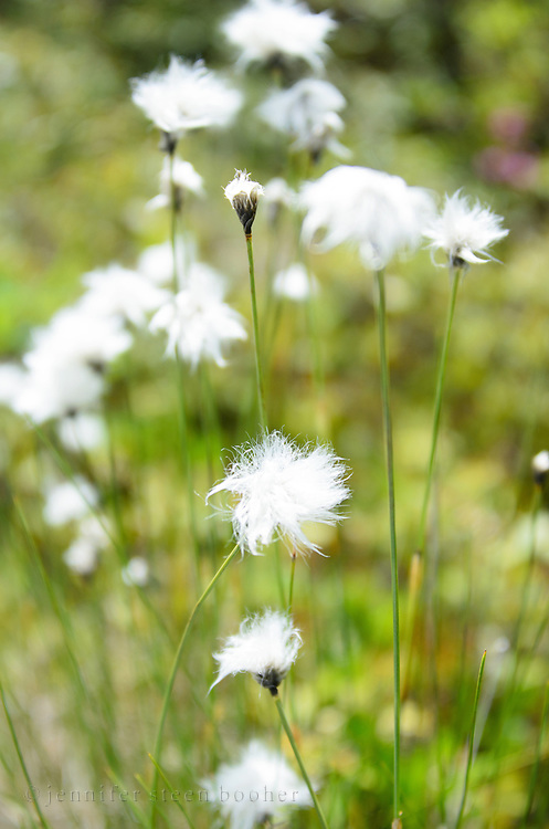 The fluffy white flowers of Tawny Cottongrass [Eriophorum virginicum] are a distinctive spring sight in northern wetlands.