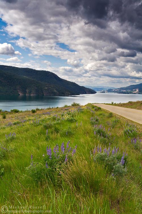 Lupines along the road to Kekuli Bay Provincial Park on Kalamalka Lake near Vernon, British Columbia, Canada