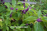65821-00319 American Beautyberry (Callicarpa americana) North Carolina Botanical Garden, Chapel Hill, NC