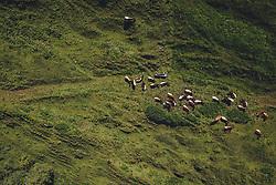 THEMENBILD - eine Kuhherde auf einer Almweide. Die Hochalpenstrasse verbindet die beiden Bundeslaender Salzburg und Kaernten und ist als Erlebnisstrasse vorrangig von touristischer Bedeutung, aufgenommen am 11. Juni 2020 in Fusch a.d. Glstr., Österreich // a herd of cows on an alpine pasture. The High Alpine Road connects the two provinces of Salzburg and Carinthia and is as an adventure road priority of tourist interest, Fusch a.d. Glstr., Austria on 2020/06/11. EXPA Pictures © 2020, PhotoCredit: EXPA/ JFK