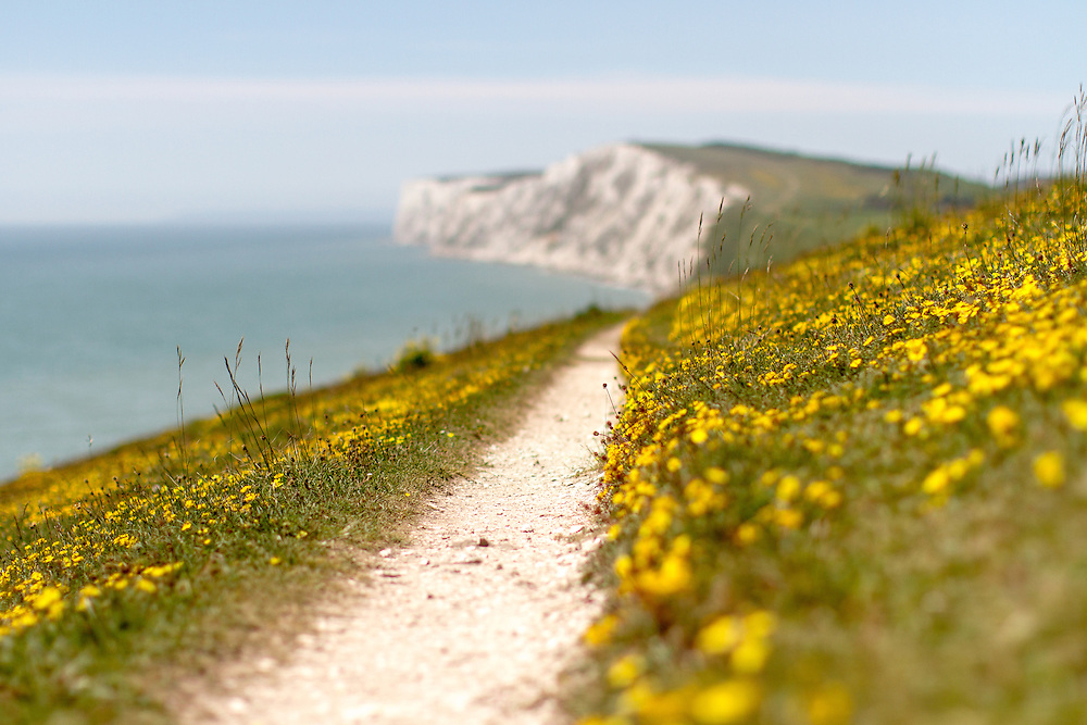 The coastal path towards Tennyson Down on the Isle of Wight covered in beautiful yellow wildflowers.