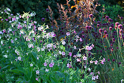 Nicotiana 'F1 Whisper Mix' with Allium sphaerocephalon and Atriplex hortensis 'Rubra'. Tobacco plant