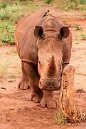 Young white rhinocerous touches a rubbing, stump, [Secret Location] © David A. Ponton