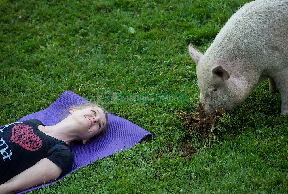Tania Whelan participates in a yoga session with pigs during a charity fundraiser at The Happy Herd Farm Sanctuary, in Aldergrove, BC, Canada on Sunday June 24, 2018. The not for profit sanctuary held three yoga classes with four pigs on Sunday to raise money to help cover veterinarian costs. The pigs were born at the sanctuary when one of two neglected pot-bellied pigs seized by the SPCA unexpectedly gave birth to a litter of five after being taken in. Photo by Darryl Dyck/CP/ABACAPRESS.COM