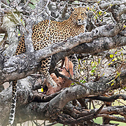 Leopard (Panthera pardus) with kill among dense branches in Krugen NP, South Africa.