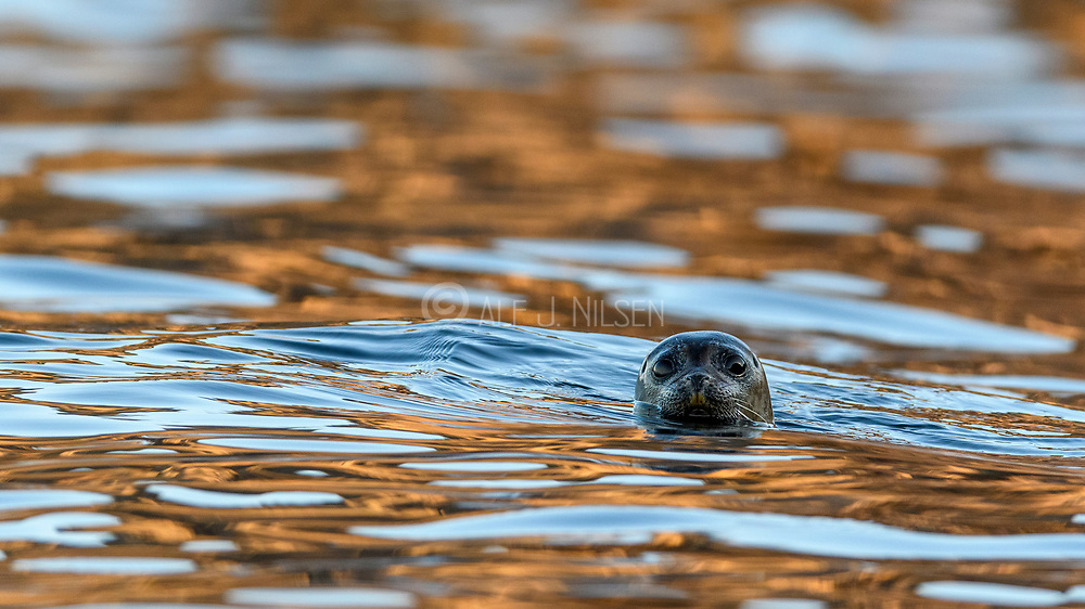 Harbour seal (Phoca vitulina) from Hidra, south-western Norway.