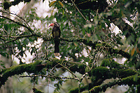 African Crowned Hornbill (Tockus alboterminatus) perched in the forest canopy.  Kibale National Park, Uganda.