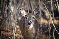 I was standing in the woods watching a herd of deer resting when this one noticed me.  It ran straight towared me and then stopped and stared at me.  It continued to watch me for several minutes until I was ready to move on.  The rest of the herd barely took any notice of me...©2010, Sean Phillips.http://www.Sean-Phillips.com