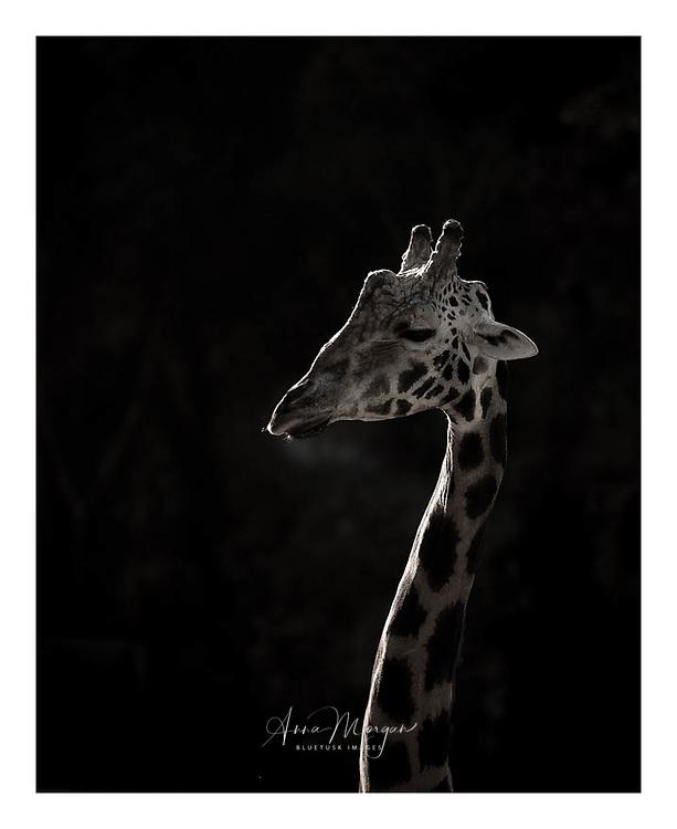backlit giraffe portrait with black background at Cabarceno park, spain