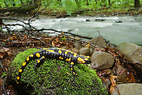 Feuersalamander, Salamandra salamandra, Male Morske Oko Reservat, Slowakei / Fire Salamander, Salamandra salamandra, Male Morske Oko Reserve, Slovakia