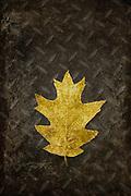 Still of a gold tinted oak tree leaf on metal