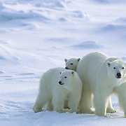 Polar Bear mother and cubs waiting for Hudson Bay to freeze over. Churchill, Manitoba. Canada