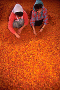 TURKEY, AGRICULTURE sorting apricots in Malatya