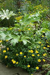 Chrysanthemum segetum - Corn marigold - under Tetrapanax papyrifer in the exotic garden at Great Dixter