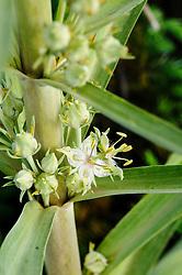Elkweed, Frasera speciosa
