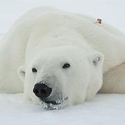 A large male polar bear (Ursus maritimus) lies tranquilized on the ice pack of the Beaufort Sea. Kaktovik, Alaska.