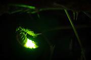 Female glow worm (Lampyris noctiluca). waving abdomen to attract mate. Dorset, UK.