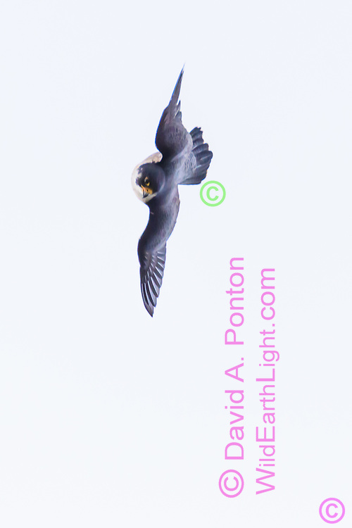 Peregrine falcon banks to wings vertical and uses a few fast wing beats to accelerate its gravity dive toward prey, © David A. Ponton