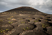 Vines are cultivated in the traditional manner, protected by low curved stone walls, on land leading up to a volcanic peak on 26th November 2020, on the edge of Los Volcanes Natural Park in Lanzarote, Spain. The island was transformed by huge volcanic eruptions from 1731-36, which destroyed villages and much of the fertile wheat-growing land, and created the area now known as Timanfaya Natural Park. Farmers discovered that the volcanic soil was fertile and started cultivating the Malvasia Volcanica grape, and making Lanzarotes unique wines. .