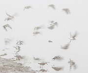 A small flock of western sandpipers (Calidris mauri) takes off in the fog after foraging in the mudflats of Leque Island near Standwood, Washington.