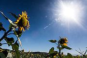 Passos_MG, Brasil.<br /> <br /> Producao de Girassol na agricultura familiar. Na foto, plantacao de girassol na fazenda Sao Francisco em Passos, Minas Gerais.<br /> <br /> Sunflower production on family farms. In the photo, sunflower plantation in Sao Francisco Passos farm, Minas Gerais.<br /> <br /> Foto: LEO DRUMOND / NITRO