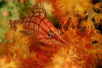 A longnose hawkfish, Oxycirrhites typus, resting in a soft coral.