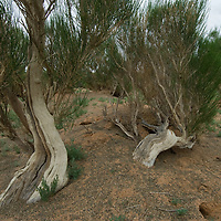 Hardy saxaul trees grow in a scrubby forest near Bayanzag in the southern Gobi Desert, Mongolia.