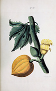 Female Pawpaw Tree (Carica papaya) Collection of Exotics from the Island of Antigua. By a Lady from the second edition of Naauwkeurige Waarneemingen omtrent de veranderingen van veele Insekten (Accurate Descriptions of the Metamorphoses of Insects), J. Sluyter, Amsterdam, 1774. For the second edition, M. Houttuyn added another eight plates to the original 25.