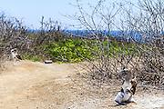 blue-footed booby (Sula nebouxii) photographed on Isla de la Plata is a small island off the coast of Manabi, Ecuador, and is part of Parque Nacional Machalilla.