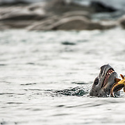 A leopard seal (Hydrurga leptonyx) plays with the Antarctic cod it has caught as prey in Curtis Bay, Antarctica.