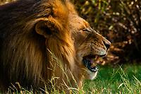 Male lion, Lion Park, near Johannesburg, South Africa.