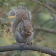 A squirrel enjoying a snack outside my window.  Hillsborough, NJ