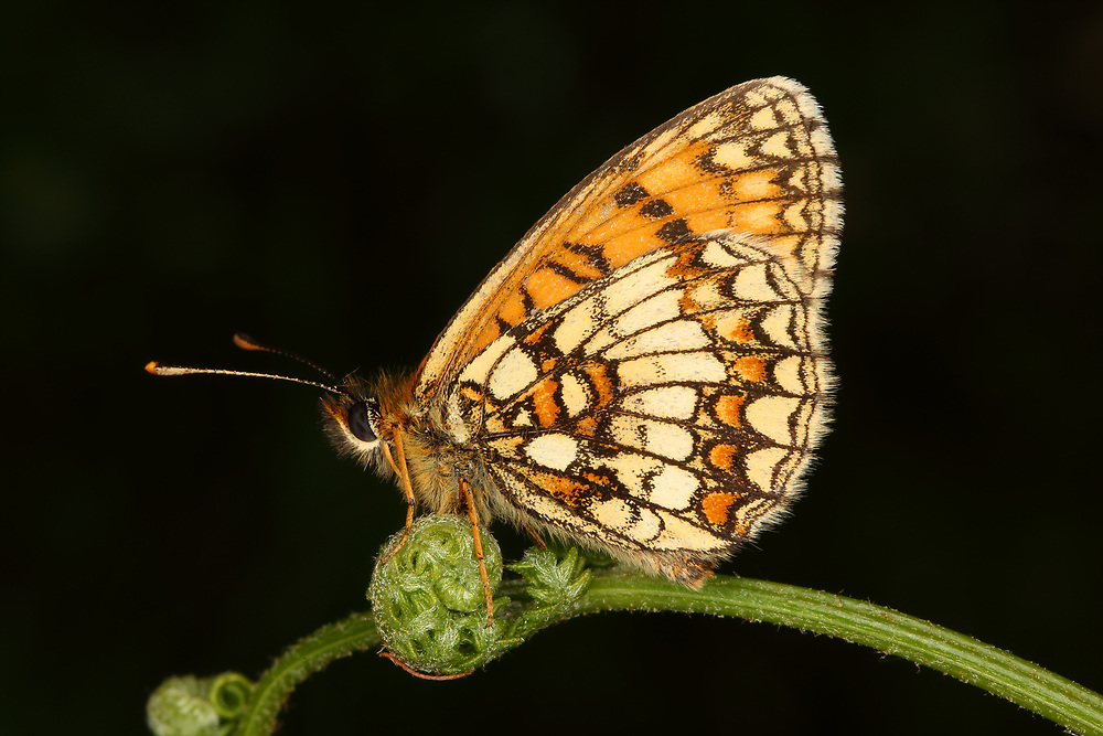A rare Heath Fritillary butterfly, photographed at Blean Wood in Kent, United Kingdom.