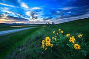 Arrow-leaved Balsamroot, Rocky Mountain Front, Montana