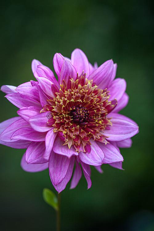 Dahlia 'Mambo' - anemone-flowered dahlia
