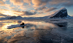Walrus (Odobenus rosmarus) in winter sunset, in hornsund, Spitsbergen, Svalbard, Norway