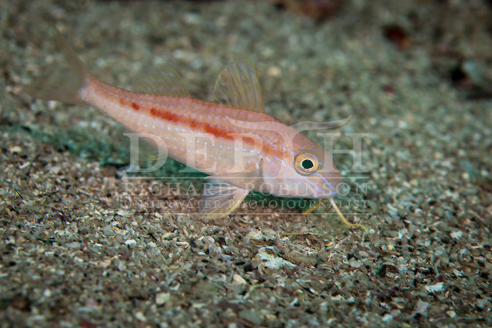 Upeneichthys lineatus (Goatfish). Tuesday 30 April 2013<br /> Photograph Richard Robinson © 2013<br /> Dive Number: 476<br /> Site: The Canyon, Poor Knights Islands Marine Reserve, New Zealand<br /> Time: 15:10<br /> Temperature: 19<br /> Rebreather: Inspiration Vision. Total Time On Unit: 282:22 hh:mm<br /> Maximum Depth: 26.7 meters<br /> Bottom Time: 136 minutes<br /> Mix: 25<br /> CNS: 56%<br /> OTU: 76%<br /> Bottom Time to Date: 31,905 minutes<br /> Cumulative Time: 32,041 minutes