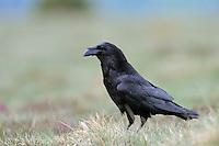 Raven; Corvus corax Canillo, Andorra