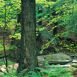 Stratton, VT. Ferns, hemlocks, and hardwoods next to Broad Brook in Vermont's Green Mountains.
