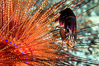 Snapping Shrimp on colorful Sea Urchin<br /> <br /> Shot in Indonesia
