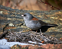 Dark-eyed Junco (Red Backed). Rocky Mountain National Park. Image taken with a Nikon D300 camera and 80-400 mm VR lens